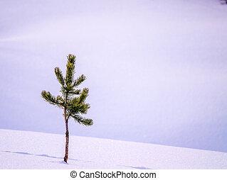 常緑樹, 新たに, 木, 隔離された, 雪