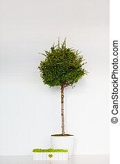 常緑樹, 箱, 壁, 白, pyracantha, こけ, 前部, potted, れんが