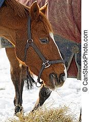 干し草, 馬, 食べること, 雪