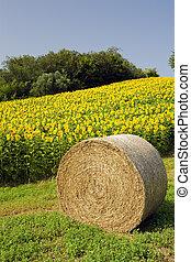 干草包, 由于, 向日葵領域