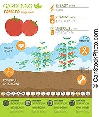 平ら, スタイル, グラフィック, 仕事, tomato., infographic., デザイン, 園芸, 農業, template.
