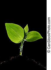 年輕 植物
