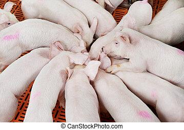 年輕, 組, 小豬, 喂