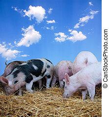 年輕, 豬, 上, 干草