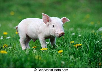 年輕, 豬