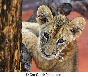 幼獣, ライオン