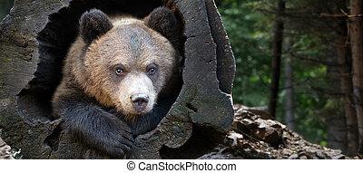 幼獣, 肖像画, 熊, ぐっと近づいて