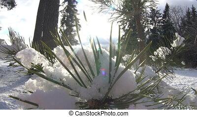 広く, の上, 遅い, 雪が多い, 太陽, 木, ライト, 動き, によって, 打撃, slose, ブランチ