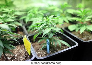 庄稼, 大麻