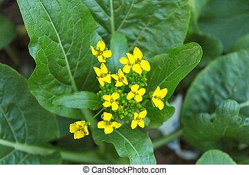 廣東棉布, 或者, choy, 蔬菜, 由于, 黃的花, 在花園