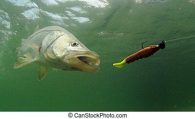 引誘, 追逐, fish, snook