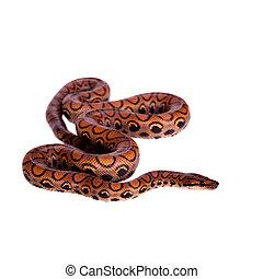 彩虹, 蟒蛇, 或者, 苗條, 蟒蛇, 在懷特上