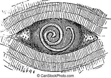 彫版, ポーク, spiralis, 回虫, 型, trichinella, ∥あるいは∥