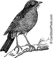 彫版, 型, アメリカ人, (turdus, ロビン, migratorius)