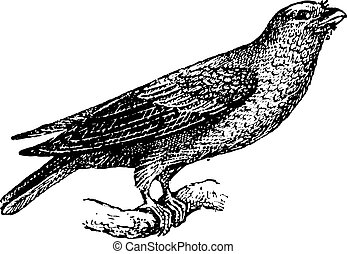 彫版, 型, glaucurus, broad-billed, eurystomus, ∥あるいは∥, ローラー