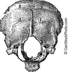 彫版, 型, occipital, 骨