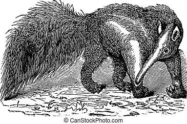 彫版, 巨人, 型, tridactyla, myrmecophaga, anteater, ∥あるいは∥