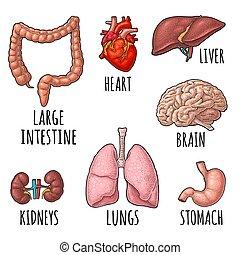 彫版, 腎臓, 脳, 心, organs., stomach., 解剖学, ベクトル, 人間, レバー