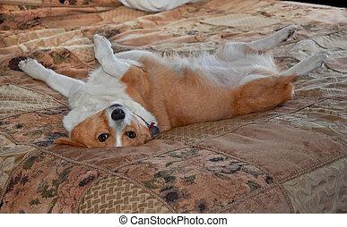 彭布羅克郡威爾士的corgi, 狗, 躺在后面上