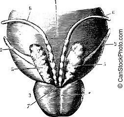 影響力がある, 前立腺, illustration., 辞書, 1885., 刻まれる, -, 表面, labarthe, 尻, 小胞, 型, 薬, 膀胱, dr, 普通