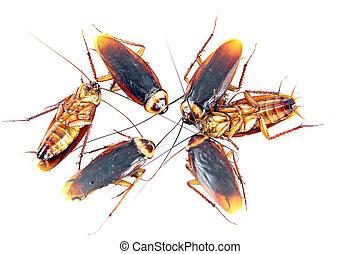 很多, 蟑螂, isolated.