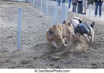 很少, 天, 豬, 比賽