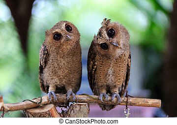 很少, owl.