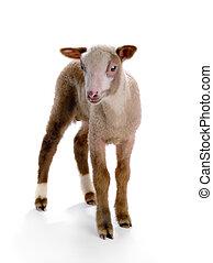 很少, sheep