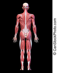 後部, マレ, フルである, システム, 数字, ビュー。, 体, 筋肉, 人間