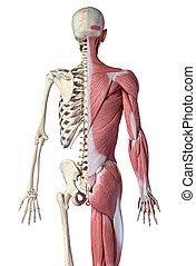 後部, マレ, 3/4, システム, 数字, 骨格, ビュー。, 筋肉, 解剖学, 人間