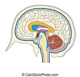 心室, 脳