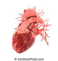 心, 人間, モデル, 解剖学的に, 正しい, 3d