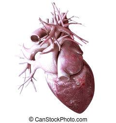 心, 背景, 解剖学, 人間, 白
