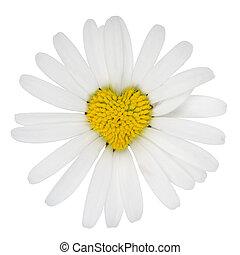 心, 花, 愛, マーガレット, 形づくられた