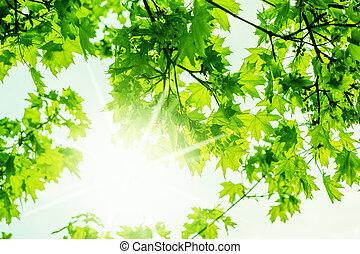 性质, 枫树, 春天, 背景, defocus