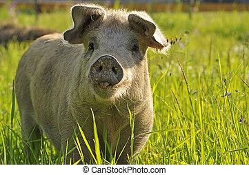 愉快, 豬