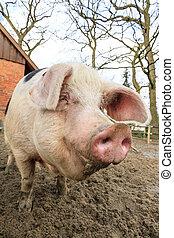 愉快, 豬, 肖像