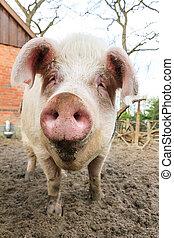 愉快, 豬, 豬嘴
