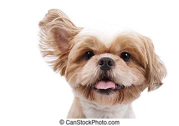 愛らしい, 犬, わずかしか, 隔離された, リフト, 白, 耳, 聞きなさい, バックグラウンド。