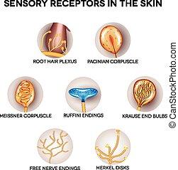 感覺, 感受器, 在, the, 皮膚