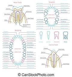 成人, 以及, 嬰孩, 牙齒, 牙齒, 解剖學, 矢量, infographics