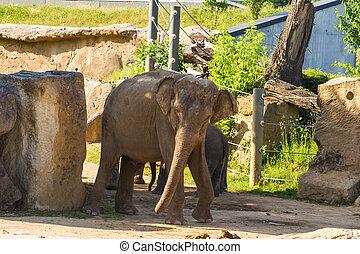 成人, 年輕, 大象