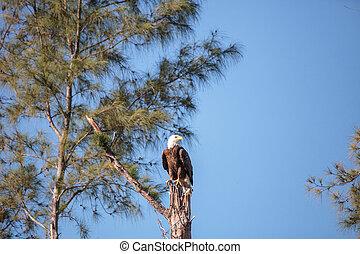 成人, 白頭鷲, haliaeetus leucocephalus, 立つ, 監視