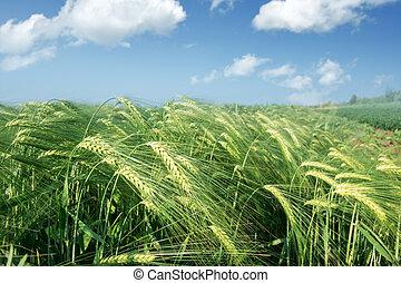 成熟, 小麥田地