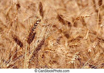 成熟, 小麥, 針對, 穀物, 領域