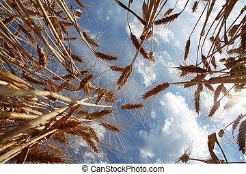 成熟, 小麥, 針對, 藍色的天空