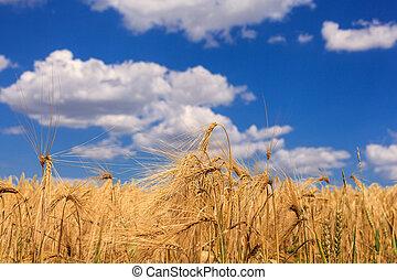 成熟, 小麥, 針對, a, 藍色的天空