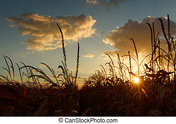 成熟, 玉米, 上, a, 鄉村, 領域