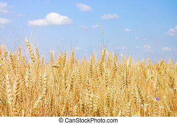 成熟, 黑麥, 針對, the, 藍色的天空