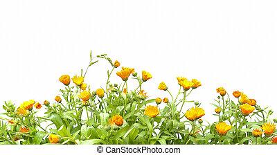 成長する, オレンジ, 隔離された, バックグラウンド。, officinalis, calendula, 白